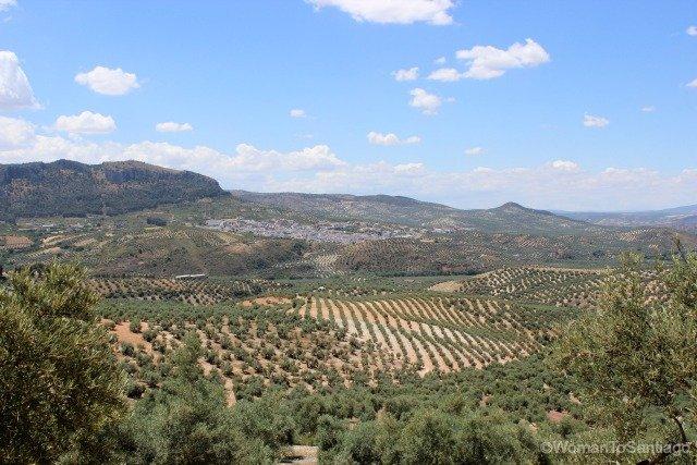 camino-mozarabe-cordoba-olivos