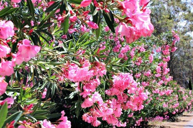 camino-mozarabe-cordoba-rosas