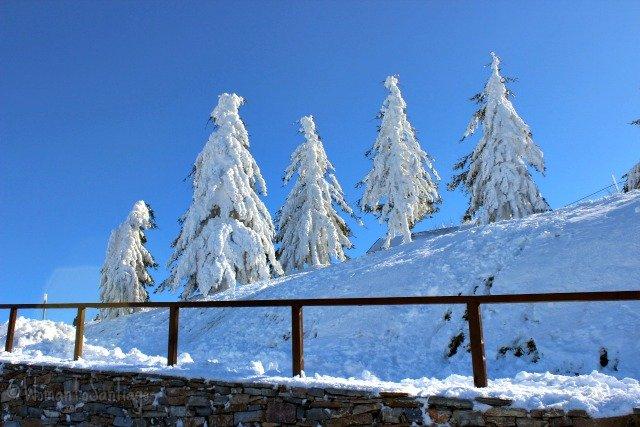 foto de arboles nevados