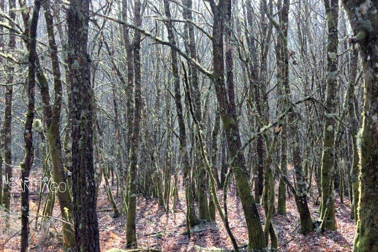 bosques-camino-de-santiago-sanabres