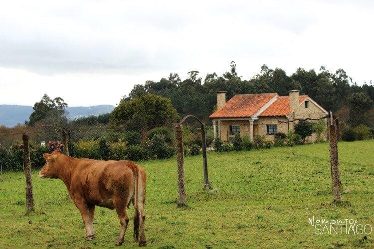 vaca en un prado del camino de santiago