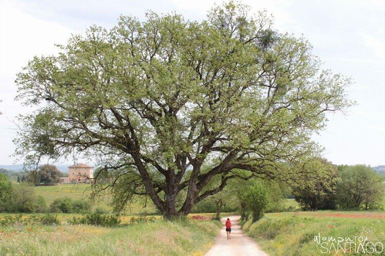 árbol frondoso con peregrino caminando